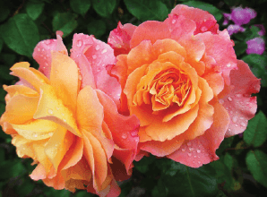 Image of two pink and orange flowers